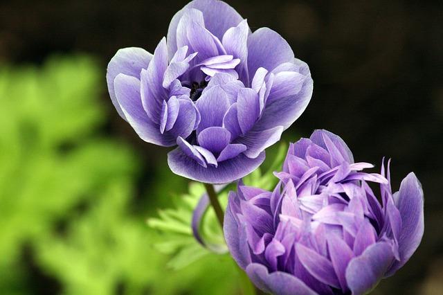 lavender ranunculus-625307_640