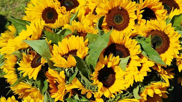 sunflower-1622785_640